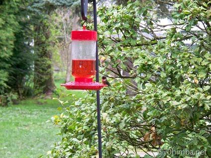 Hummingbird 05-02-2011 002