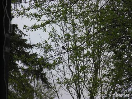 Hummingbird 05-02-2011(1080p) 006
